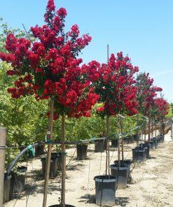 tuong vi hoa do tree